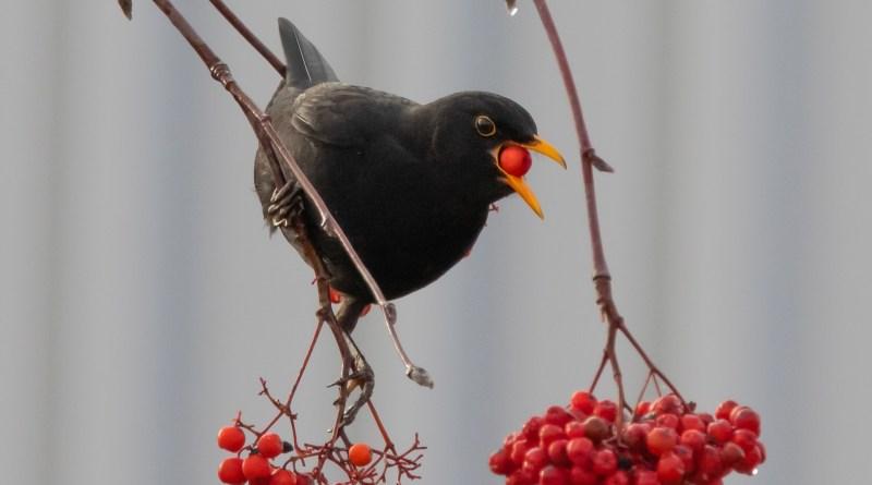 птица с рябиной