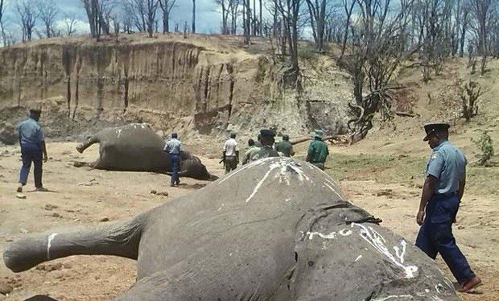 Governo Trump derruba decisão de Obama e libera importação de troféus de caça de elefantes