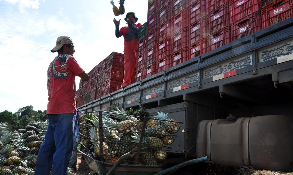 Fruticultores comemoram aumento na produção do abacaxi irrigado