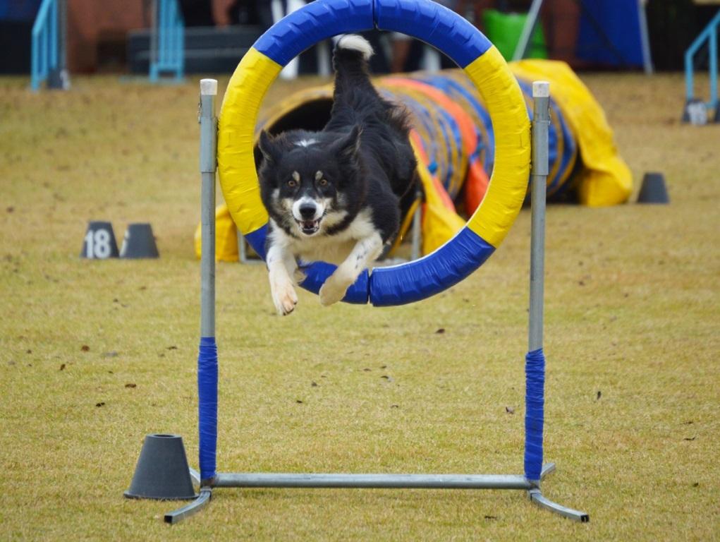Atividades esportivas para cães ganham espaço no Brasil