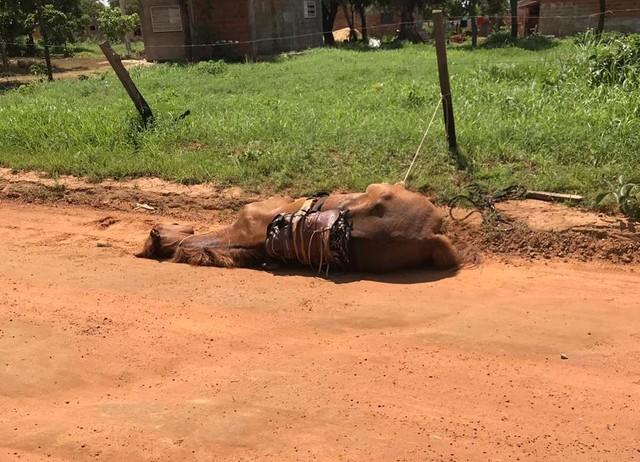 Cavalo é encontrado caído e amarrado pelas patas em estrada vicinal de Palmas