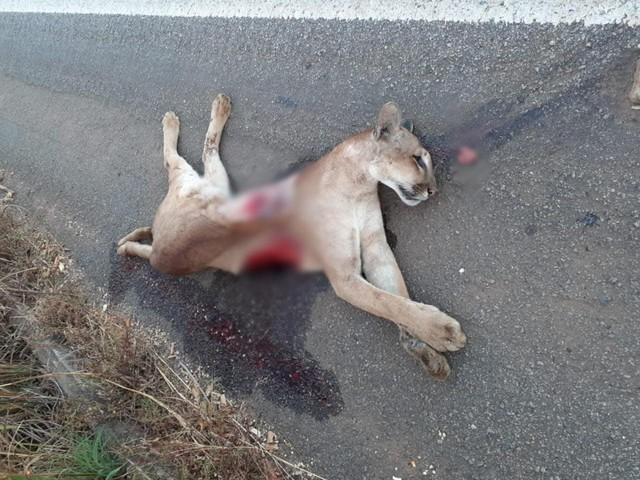 Onça-parda é encontrada morta em rodovia do Tocantins