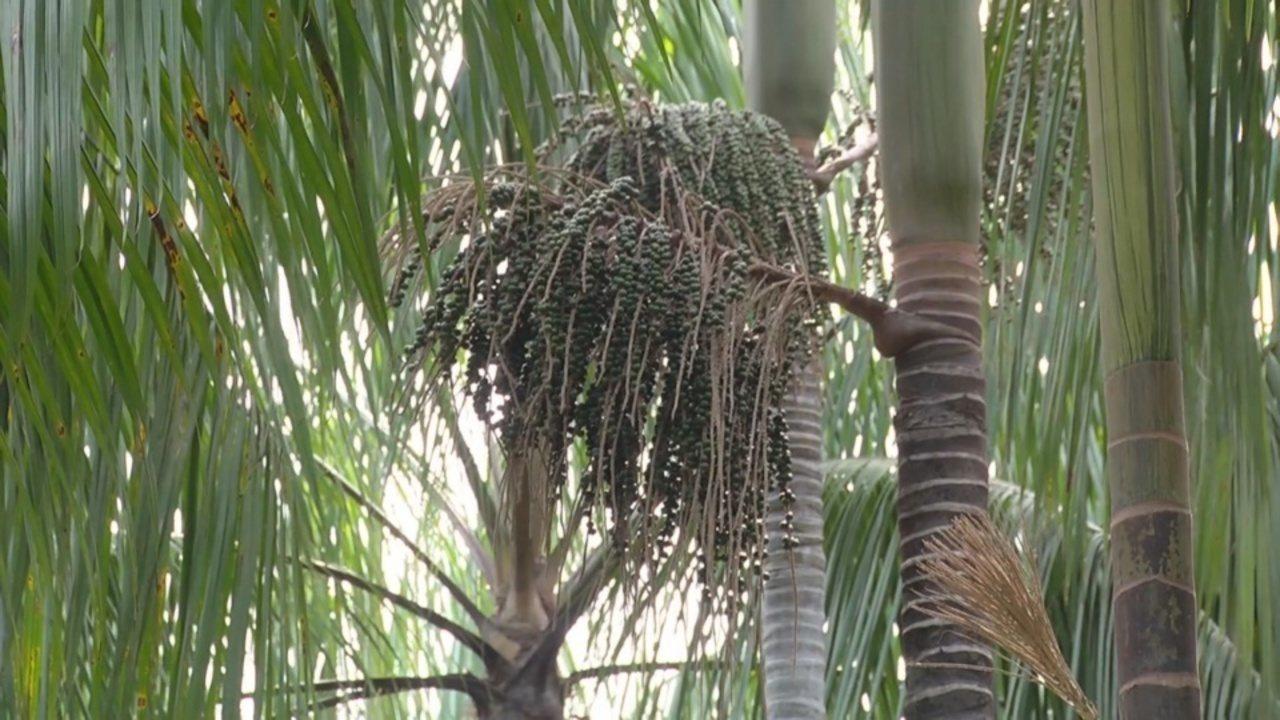 Mais de 90% da polinização do açaí é realizada por abelhas da Amazônia