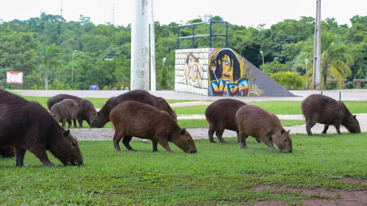 FMA realiza simpósio sobre Manejo Populacional de Capivaras a partir dessa segunda, 19
