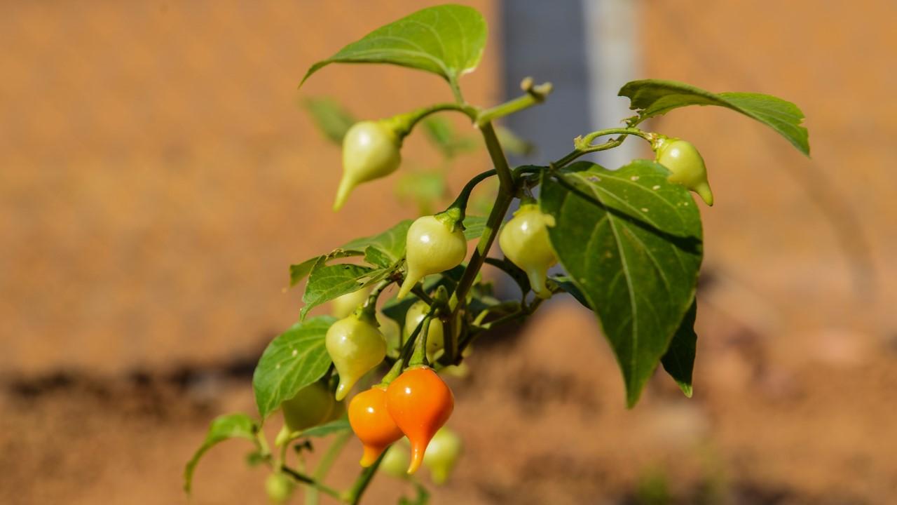 Produtos da Horta Comunitária de Taquaruçu vão abastecer distrito e cozinhas do FGT