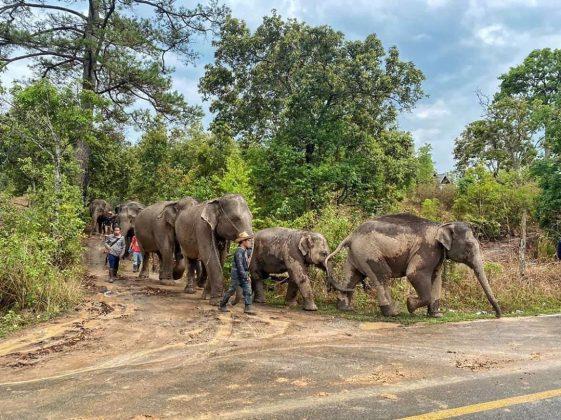 1476 elefantes são devolvidos à natureza após fechamento de atrações turísticas, na Tailândia