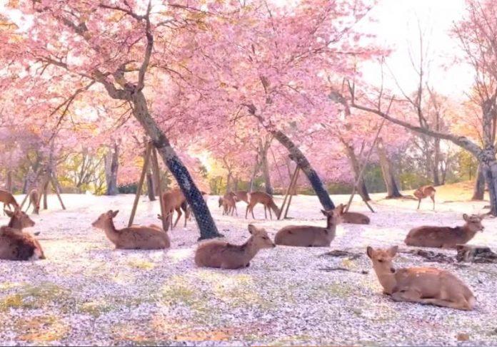 Vídeo: Veados lotam parque de cerejeiras na ausência de turistas no Nara Park