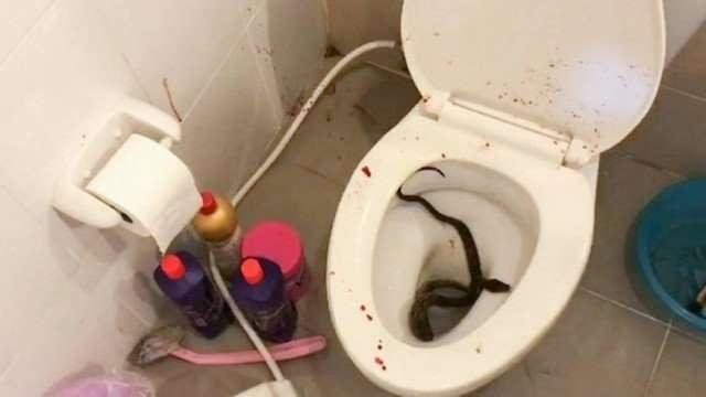 Jovem tailandês é picado no pênis por cobra píton ao se sentar em vaso sanitário