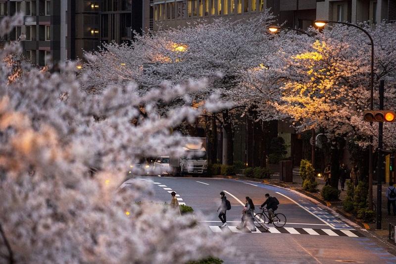 Japão tem florada das cerejeiras mais cedo em 1,2 mil anos; veja fotos