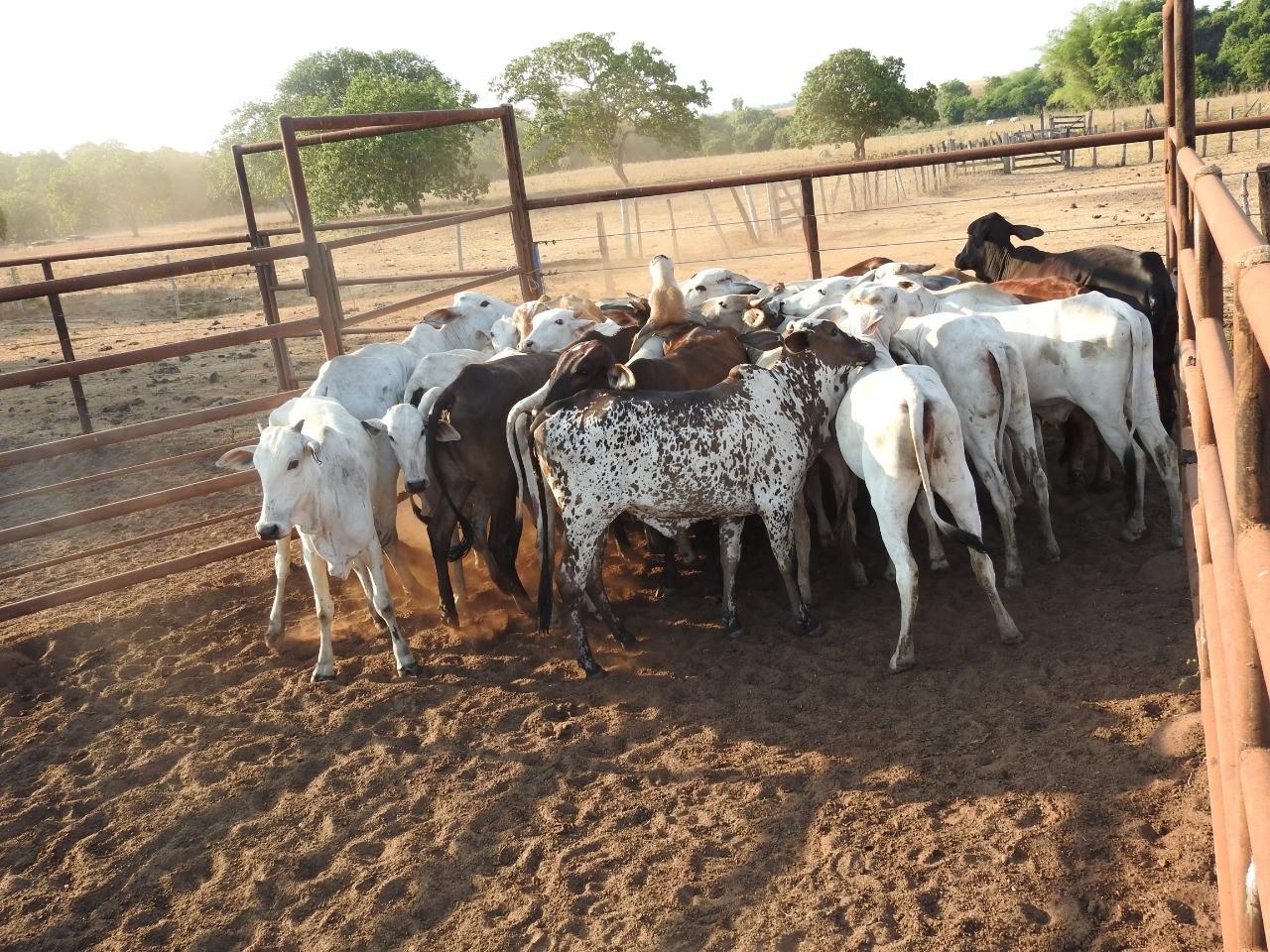 Polícia Civil recupera 28 cabeças de gado furtadas de fazenda no sul do Tocantins