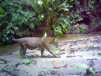 Jaguar, Photo trap (credit UB-ERI/Panthera )