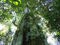 Selva paranaense
