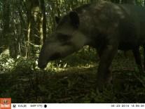 Photo trap un tapir