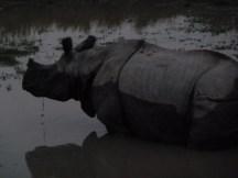Notre premier rhino !