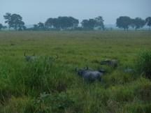 Buffles sauvages au petit matin