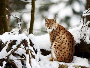 surprisinglives.net/snowy-lynx-photograph/