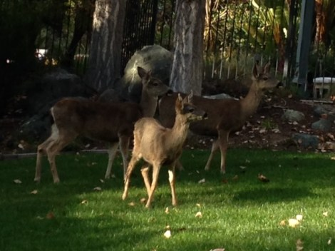 Deer on our front lawn