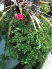 Rose scented geranium