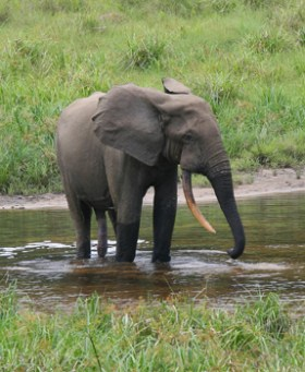 Male forest elephant at the Langoué Bai (forest clearing), Ivindo National Park, Gabon. This male came to the clearing to drink mineral-rich water, obtained from pits dug by elephants at specific locations within the clearing, Photo credit Peter H. Wrege from Wikimedia Commons