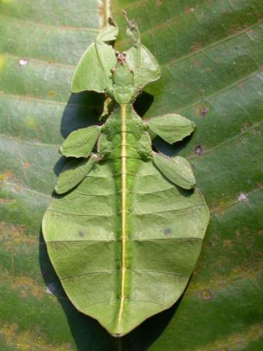 Leaf mimic Photo credit: Sandilya Theuerkauf available by Creative Commons License