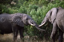 Savannah elephants in the MasaiMara Credit Jason Robertson