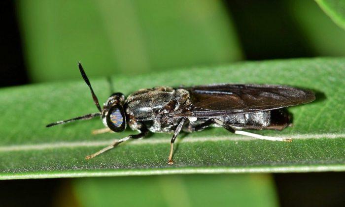 Insektenzucht schwarze soldatenfliege Zucht Insekten essen Larven insekten züchten