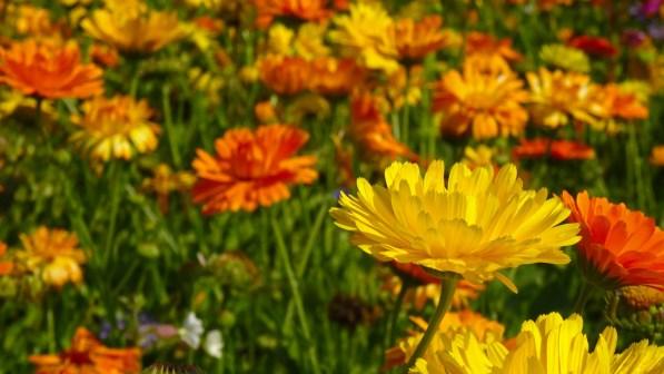 Ringelblumen auf einer Blumenwiese