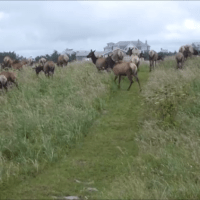 Oregon Coast Elk Herd on Gearhart Oregon Beach 2014 HD