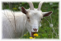 Goats as homestead livestock.