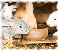 Rabbits for Suburban Livestock