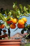 Growing fruit trees in suburbs