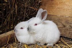 Raising meat rabbits beginner's guide