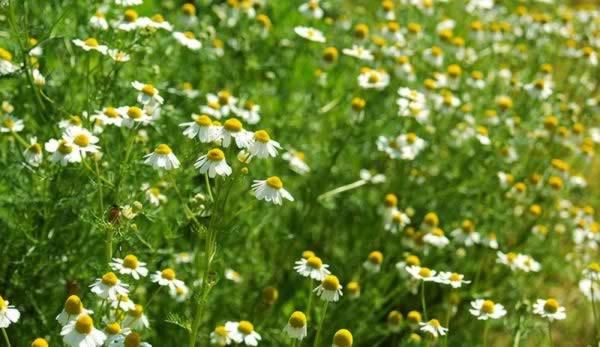 Medicinal Herbs to Grow -German Chamomile