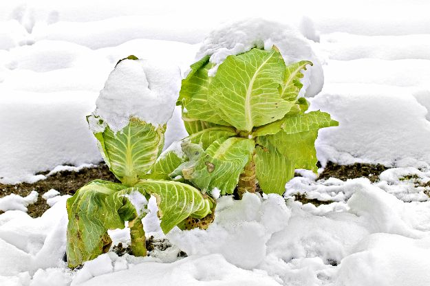 Cool Season Vegetables or Winter Crops List | Winter Vegetable Garden: Never Too Cold for Fresh Food