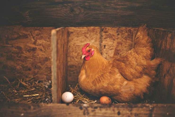 Brown hen near white egg on nest   Hen Pecked: An In-Depth Interview On Raising Chickens