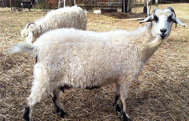 goats-milk