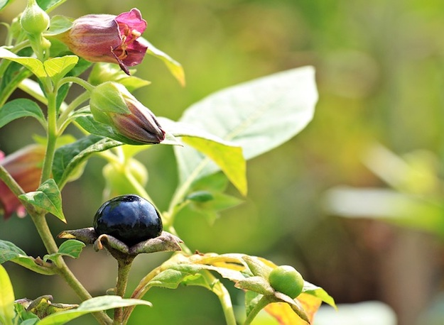Belladonna | Medicinal Plants That Could Save Your Life