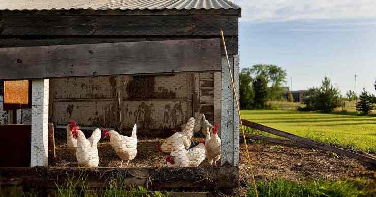chickens inside chicken coop | The Chicken Coop Checklist | chicken coop | cheap chicken coops