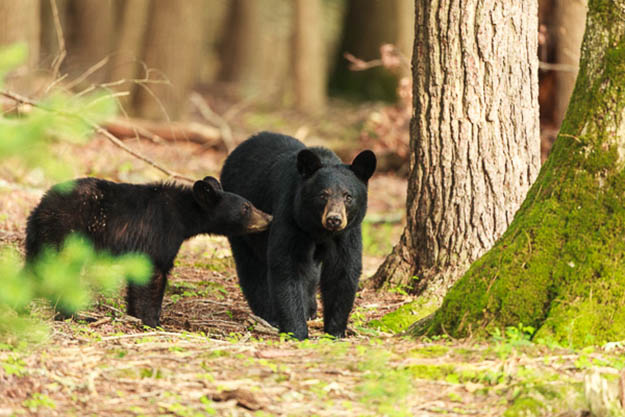 Seeing these bears would be one of the highlights of your Smoky Mountains camping. Via ronduckworthphoto.com