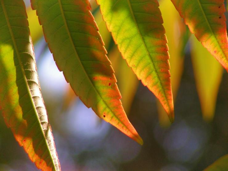 Poison ivy autumn leaves   How To Prevent And Treat Poison Ivy, Oak, And Sumac