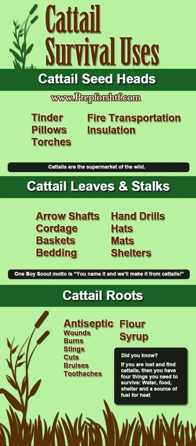 Infographic   Cattails Survival Uses