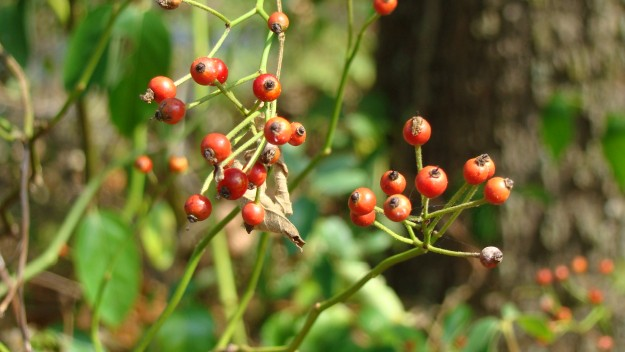Wild Rose Hips | Make Your Own Winter Tea | A Great Drink for Comfort and Health