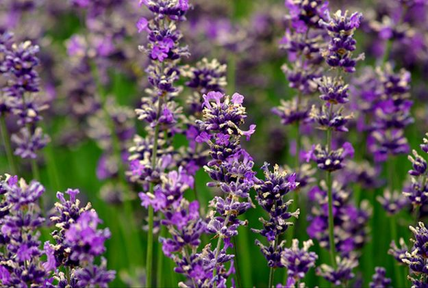 Lavender Flowers | Make Your Own Winter Tea | A Great Drink for Comfort and Health