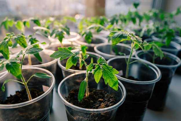 Try this super easy way to grow tomato seedlings |10 Gardening Tips and Tricks That Everyone Should Know
