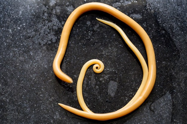 Ascaris Roundworm | Dangerous Creatures and How to Avoid Them