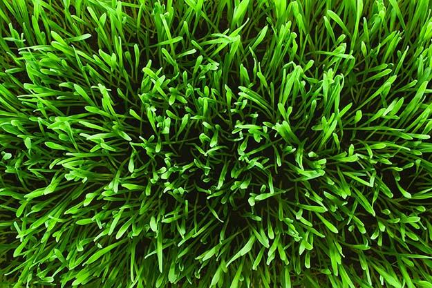 make your grass greener with epsom salt