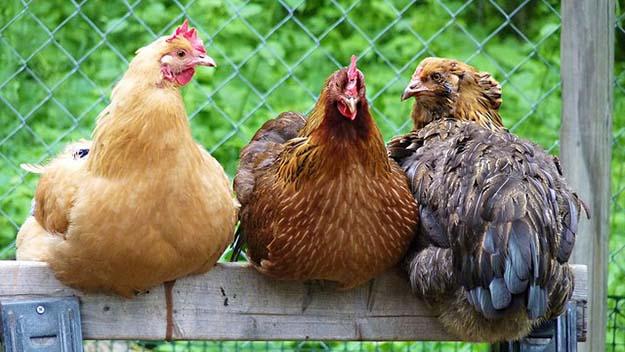 chicken farming 6