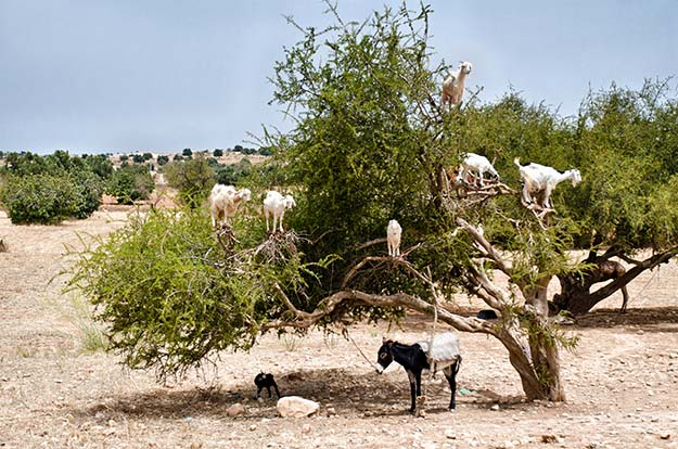 goats in tree
