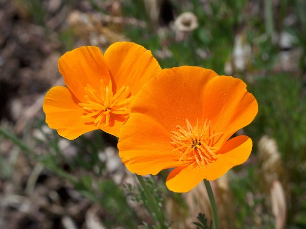 California Poppy | Powerful Medicinal Plants From Around the World