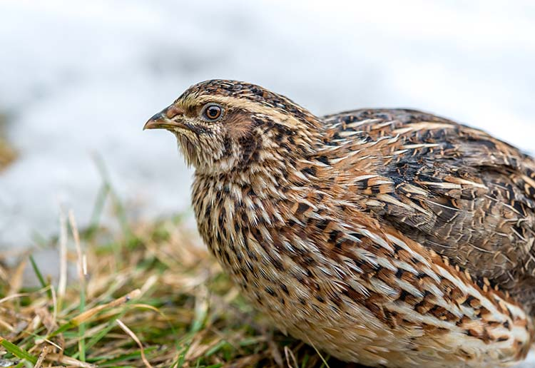Adult quail sitting in grass with cloudy background